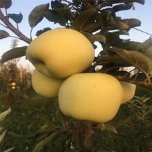 兩年生蘋果苗種植時間維納斯黃金蘋果苗苗場電話圖片
