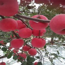 定植兩年的蘋果樹品種特色介紹神富6號蘋果苗出售電話圖片