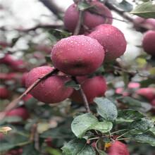 2020年山東蘋果苗價格及報價響富蘋果苗批發價格圖片