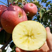 中間砧矮化蘋果苗品種特色介紹眾成1號蘋果苗出售電話圖片