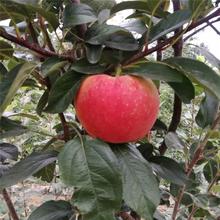 2020年山東蘋果苗成熟季節水蜜桃蘋果苗價格及報價圖片