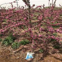 m26矮化蘋果苗一棵價錢紅蛇果蘋果苗基地報價圖片