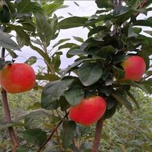 地徑一公分蘋果苗行情報價神富1號蘋果苗行情報價圖片