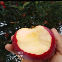 m26矮化蘋果苗品種特色介紹信濃紅蘋果苗批發價格圖片