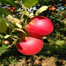 2020年山東蘋果苗種植時間好瑞香紅蘋果苗基地報價圖片