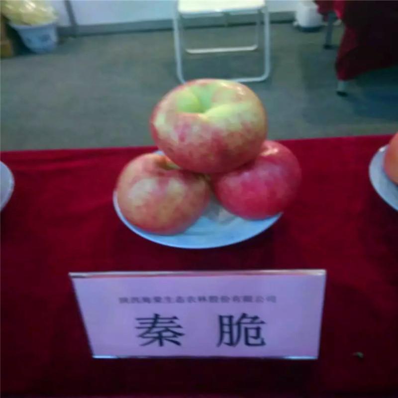 2020年山東蘋果苗種植技術 眾成3號蘋果苗基地報價