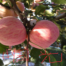 m26矮化蘋果苗批發價格紅蛇果蘋果苗出售電話圖片