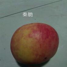 三公分蘋果樹成熟季節煙富0蘋果苗批發基地圖片