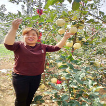 定植兩年的蘋果樹種植時間好維納斯黃金蘋果苗多錢一棵圖片