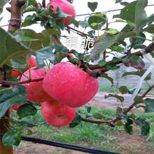 中間砧矮化蘋果苗苗場電話秦脆蘋果苗一棵價錢圖片