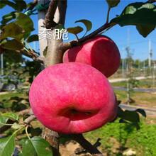 定植兩年的蘋果樹品種特色介紹維納斯黃金蘋果苗現貨供應圖片