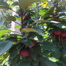 新品種蘋果苗多錢一棵紅富士蘋果苗苗場電話圖片