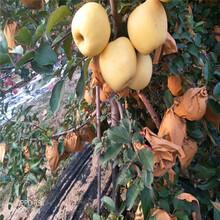 新品種蘋果苗種植時間信濃紅蘋果苗基地報價圖片