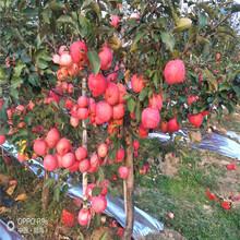 五公分大蘋果樹種植時間新紅星蘋果苗批發基地圖片