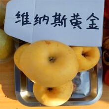 中間砧矮化蘋果苗價格及報價紅肉蘋果苗價格及報價圖片