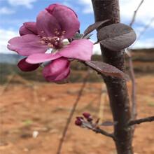 三公分蘋果樹價格及報價水蜜桃蘋果苗批發價格圖片
