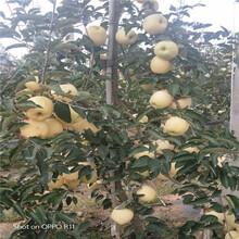 定植兩年的蘋果樹行情報價信濃紅蘋果苗行情報價圖片