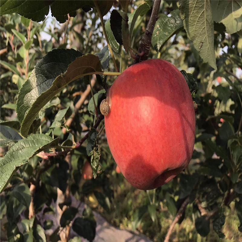 新品種蘋果苗批發價格 神富1號蘋果苗苗場電話