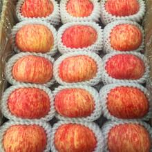 定植兩年的蘋果樹價格及報價紅蛇果蘋果苗價格及報價圖片