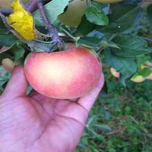中間砧矮化蘋果苗種植時間神富1號蘋果苗一棵價錢圖片