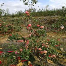 新品種蘋果苗種植時間好紅富士蘋果苗現貨供應圖片