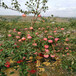響富蘋果苗種植技術三公分蘋果樹響富蘋果苗一棵價錢