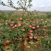 兩年生蘋果苗種植技術紅富士蘋果苗批發價格圖片