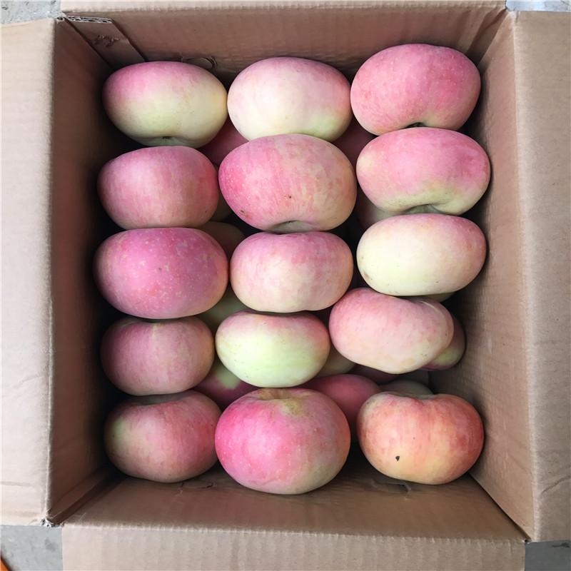 兩年生蘋果苗種植技術 花牛蘋果苗苗場電話