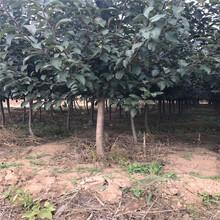 三公分蘋果樹種植時間花牛蘋果苗苗場電話圖片