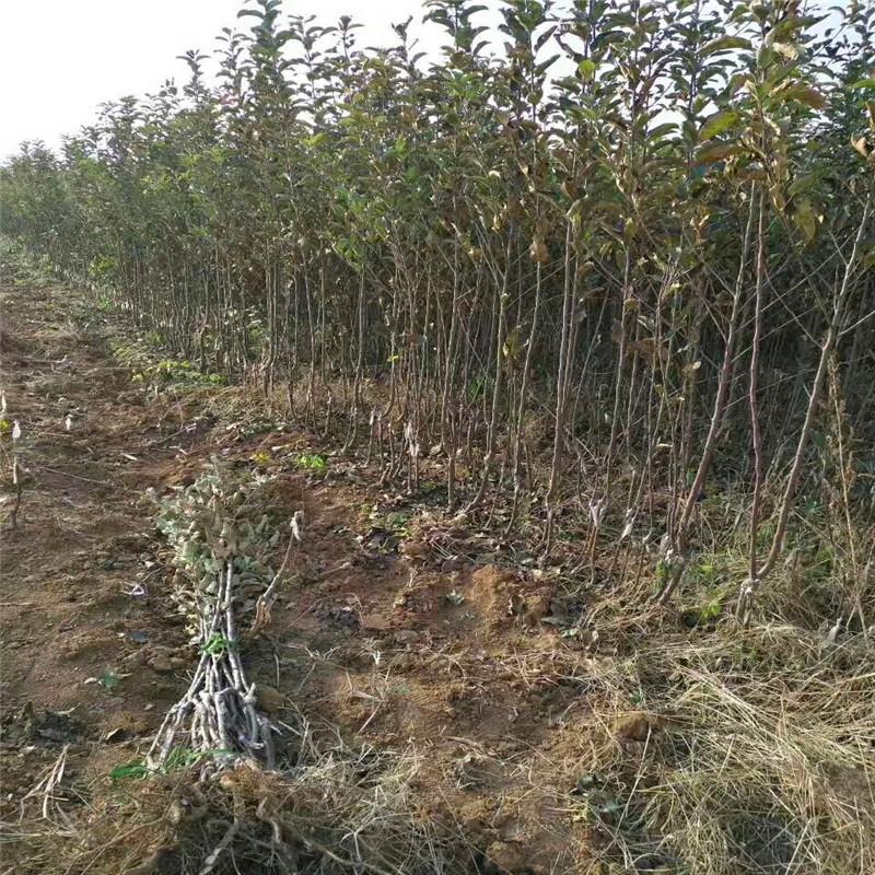 m26矮化蘋果苗種植技術 望鄉紅蘋果苗出售電話