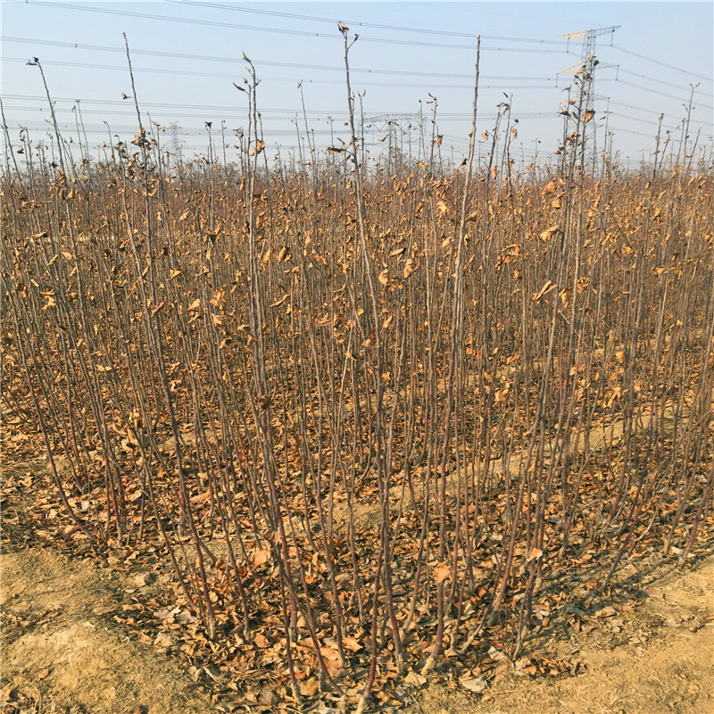 定植兩年的蘋果樹多錢一棵 新紅星蘋果苗價格及報價