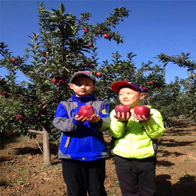 三公分蘋果樹種植時間好 紅肉蘋果苗多錢一棵