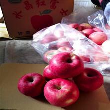 定植兩年的蘋果樹多錢一棵花牛蘋果苗多錢一棵圖片