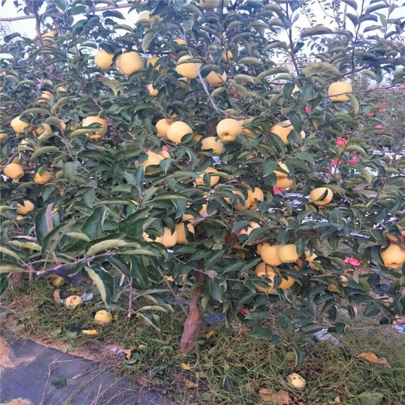 2020年山東蘋果苗價格及報價 響富蘋果苗批發價格