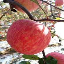 三公分蘋果樹哪里有賣的瑞陽蘋果苗哪里有賣的圖片