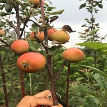 新品種蘋果苗種植時間好矮化蘋果苗出售電話圖片