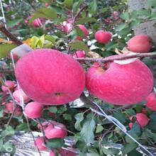 定植兩年的蘋果樹多錢一棵新紅星蘋果苗多錢一棵圖片