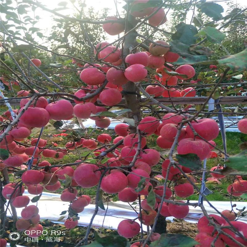m26矮化蘋果苗苗場電話 瑞陽蘋果苗多錢一棵