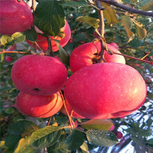 定植兩年的蘋果樹成熟季節美國8號蘋果苗現貨供應圖片