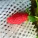 山東草莓苗基地硬果耐運輸黔莓2號草莓苗一棵價錢