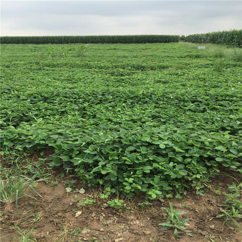 大棚草莓苗批发基地大棚用草莓种苗种植季节