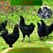 眉山五黑雞苗批發市場