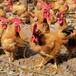惠州小三黃雞苗批發市場