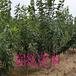 福建三明萨米脱樱桃苗优质供应商