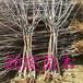 福建南平十公分樱桃树批发商价格