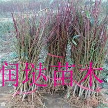 湖南益阳7公分桃树苗出售图片