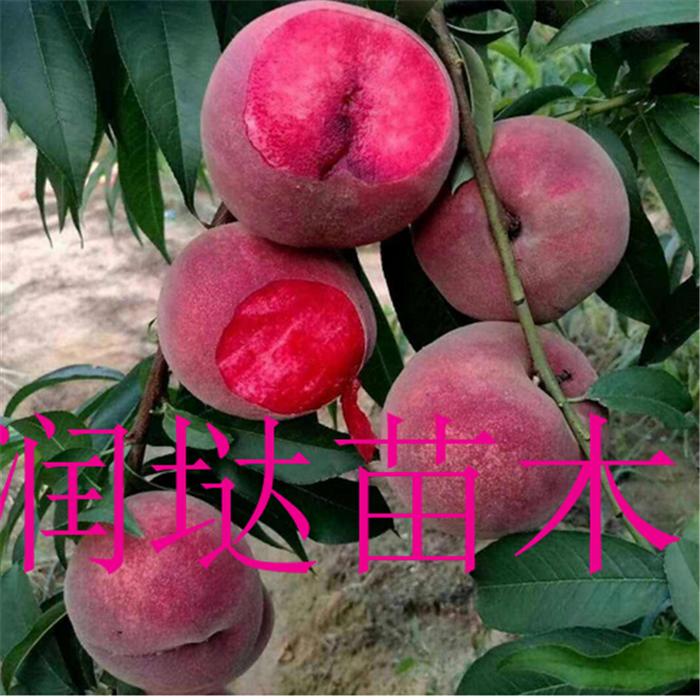 湖南湘西黑桃桃苗质量可靠