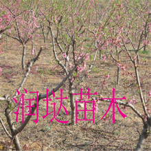 河南安阳矮化桃树苗基地供应图片