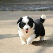 貴州狗場貴州邊境牧羊犬出售圖片