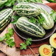 哈爾濱育苗廠出售甜瓜苗博洋九系列羊角蜜綠寶等圖片